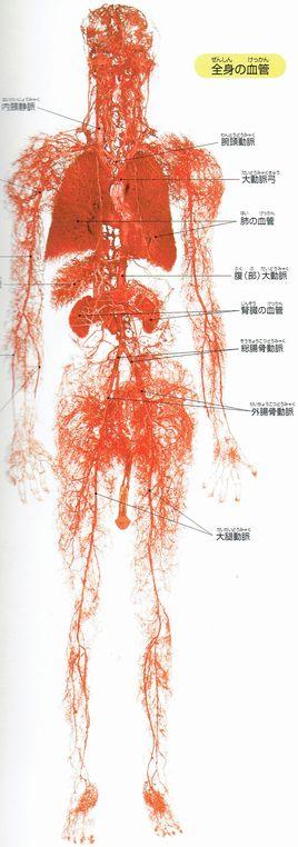 全身の毛細血管